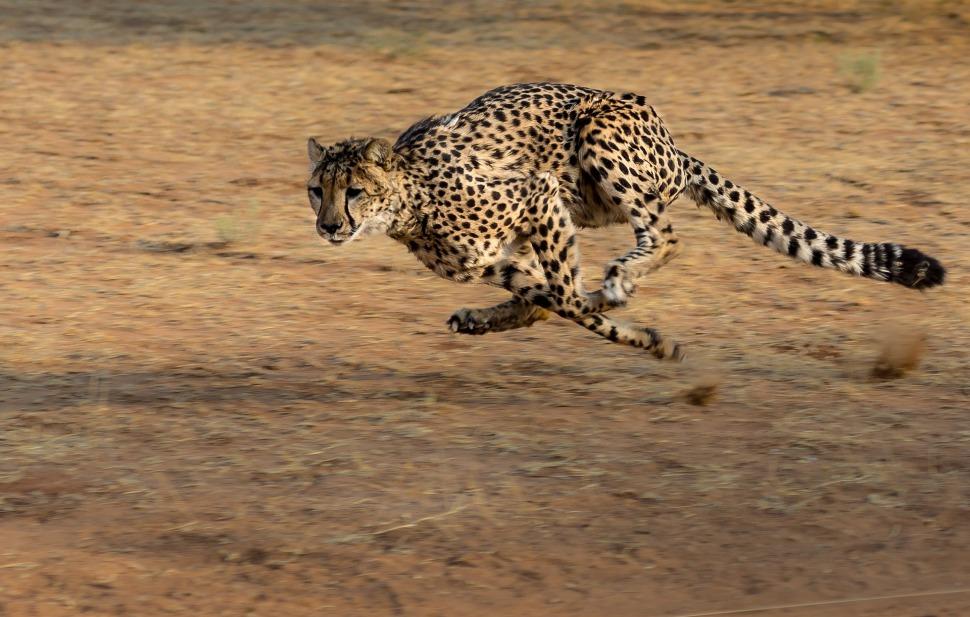 Speed Up Cheetah